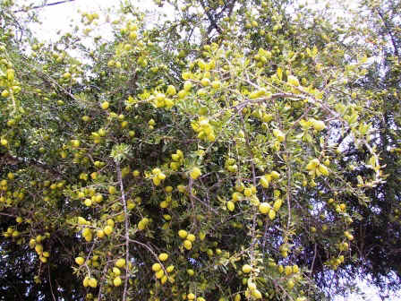 Fruit d'Arganier en plein zonne forestière sauvage