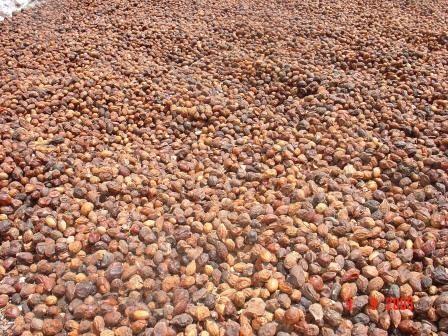 Fruits d'Arganier lors d'ensoleillement